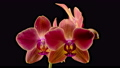 Blooming Red Orchid Phalaenopsis Flower on Black Background. Time Lapse. 4K. 75961830