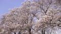 cherry blossom, cherry tree, row of cherry trees 75964959