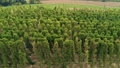 Aerial Agricultural Landscape with Humulus Hop Cultivation for Beer Brewing 75977338