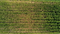 Aerial Agricultural Landscape with Humulus Hop Cultivation for Beer Brewing 75977340