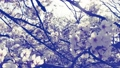 桜の花から 75978072