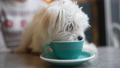 Cute dog drinks from a mug in cafe 75989807