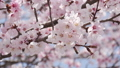 Beautiful spring cherry blossom tree 75993976