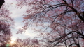Low angel of cherry blossom tree with sunlight in a spring morning 75993977