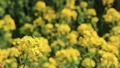 Rape flowers and honey bees 76009274