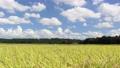 가을의 푸른 하늘과 논 벼 76020253