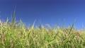 가을의 푸른 하늘과 논 벼 76020254