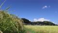 가을의 푸른 하늘과 논 벼 76020255