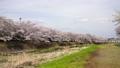 Hachioji City, a row of cherry blossom trees in Minamiasakawa, Fix 76020735