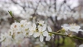 Cherry branch with white flowers in spring bloom. Spring Flowers. Flowering in the garden trees 76042968