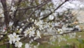 Cherry branch with white flowers in spring bloom. Spring Flowers. Flowering in the garden trees 76042970
