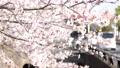 櫻花 櫻 賞櫻 76051581