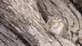 橡果 動物 松鼠 76056998