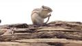 松鼠 小動物 動物 76056999