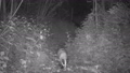 European Badger filmed with Night vision 76074803