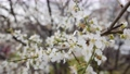 Cherry branch with white flowers in spring bloom. Spring Flowers. Flowering in the garden trees 76079036