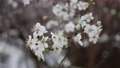 Cherry branch with white flowers in spring bloom. Spring Flowers. Flowering in the garden trees 76079038