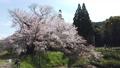 아사이의 한 개 벚꽃 76080583
