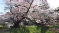 아사이의 한 개 벚꽃 76080584
