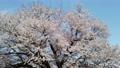 아사이의 한 개 벚꽃 76080585