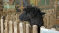 A black alpaca standing in an aviary on a farm sticking its head out of the fence looks on the sides 76083199