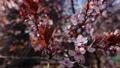 Cherry plum or Prunus cerasifera branch with pink flowers in spring bloom. Spring Flowers. Flowering 76092284