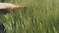 Woman's hand touching wheat ears 76093022