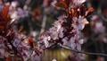 Cherry plum or Prunus cerasifera branch with pink flowers in spring bloom. Spring Flowers. Flowering 76108109