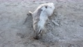 Dead seal lying on Narin beach by Portnoo - County Donegal, Ireland. 76116011