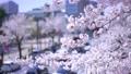 春の東京の風景 田安門前歩道橋から眺める桜と靖国通りを通行する車のぼけ背景 76122674