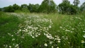 Wild daisies in the meadow on a cloudy day 76126629