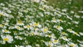 Wild daisies in the meadow on a cloudy day 76126630