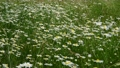 Wild daisies in the meadow on a cloudy day 76126631