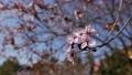 Cherry plum or Prunus cerasifera branch with pink flowers in spring bloom. Spring Flowers. Flowering 76142579