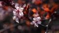 Cherry plum or Prunus cerasifera branch with pink flowers in spring bloom. Spring Flowers. Flowering 76142580