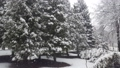 Falling snowflakes of snow against the background of spruce trees. 76156290