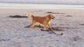 Dog on sandy beach having fun and eating algae at sunset. 76158499