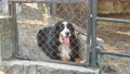 Dog guarding the area sits on the ground behind a metal fence net. Black and white dog sticking out his tongue. The dog behind the fence. 76159457