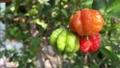 The Surinam Cherry (Eugenia uniflora) tropical fruit in garden video. 76201660