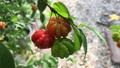 The Surinam Cherry (Eugenia uniflora) tropical fruit in garden video. 76201662