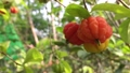 The Surinam Cherry (Eugenia uniflora) tropical fruit in garden video. 76201663