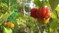 The Surinam Cherry (Eugenia uniflora) tropical fruit in garden video. 76201664