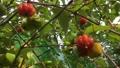 The Surinam Cherry (Eugenia uniflora) tropical fruit in garden video. 76201665