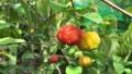 The Surinam Cherry (Eugenia uniflora) tropical fruit in garden video. 76201666