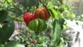 The Surinam Cherry (Eugenia uniflora) tropical fruit in garden video. 76201667
