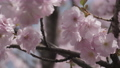 Close up pink sakura flowers blowing in the wind 76204368