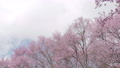 Beautiful nature spring with blooming sakura cherry blossom tree 76204369