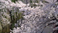 Sakura cherry blossoms blooming at river are fluttering in the soft spring breeze 76204370