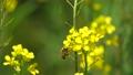 蜜蜂 76204940