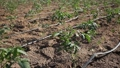 Closeup of young organic tomato seedlings growing on farm field on sunny day 76231961
